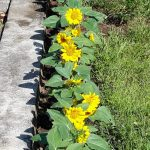 Bunga Matahari di depan Gedung Ekklesia